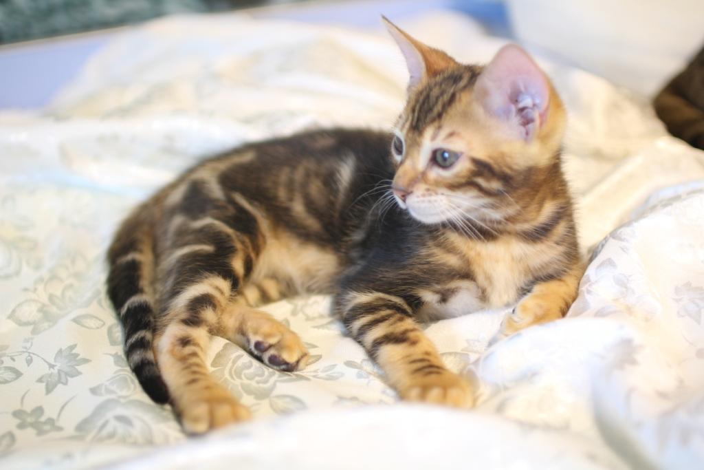 бенгал кот фото мраморный для городской малогабаритной